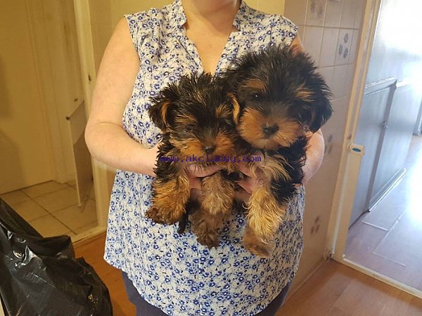 Lovable Yorkshire Terrier Puppies