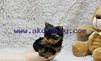 Vaccinated Yorkie Puppies Dolly Males And Females