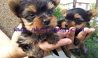 Vaccinated Yorkie Puppies