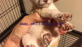 FENNEC FOX FOR SALE (419) 777-4855