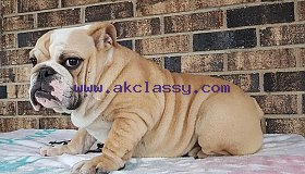 cutie 12 weeks english bulldog puppies