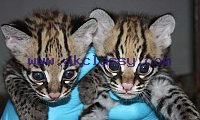 7 weeks old Ocelot babies available
