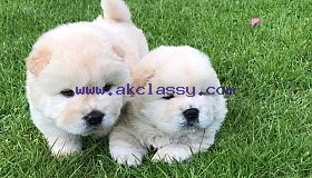 Beautiful Male and female Chow Chow Needs New home