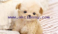 Teacup Size Poodle Puppies For Sale Text (713) 510-3006