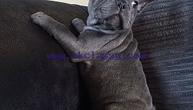 Solid Blue Litters Of French Bulldog  Puppies For Sales..