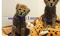 Male and Female Tigers,Cheetah Cubs For Sale