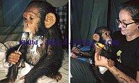 Lovely Chimpanzee Monkeys available