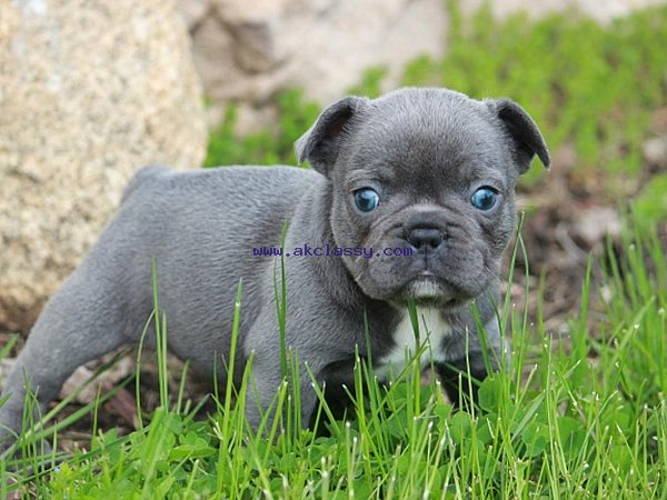 Cute and Adorable French Bulldog Puppy Available