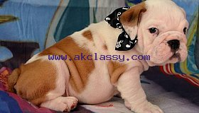 sweet male and female english bulldog puppies 12