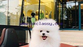 Pomeranian Tiny Teacup babies .  Message us 339-970-9126