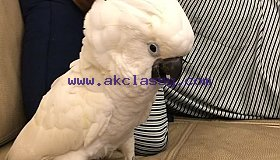 Umbrella atoo parrots hand tamed Text or call 339-970-9126
