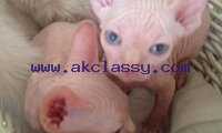 Blue eyes Sphynx kittens available Text or call 339-970-9126