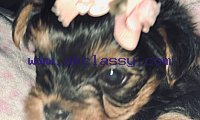 Gorgious Male And Female Teacup Yorkie Pups sms  4104297092