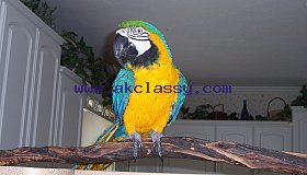 Super Tame Blue & Gold Macaw