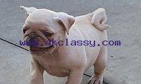 Cream Pugs puppies