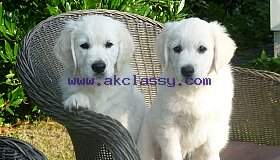 Top Class Golden Retriever Puppies Available