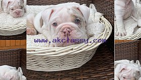 AKC Beautiful bulldog puppies