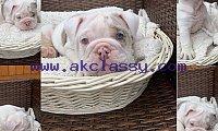 AKC Beautiful bulldog puppies