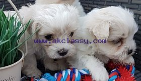 Two Maltese Puppies Needs a New Family