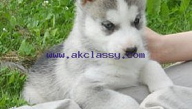 Huskypuppies 12 week old!*!*!