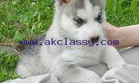 Huskypuppies 12 week old!*!*!