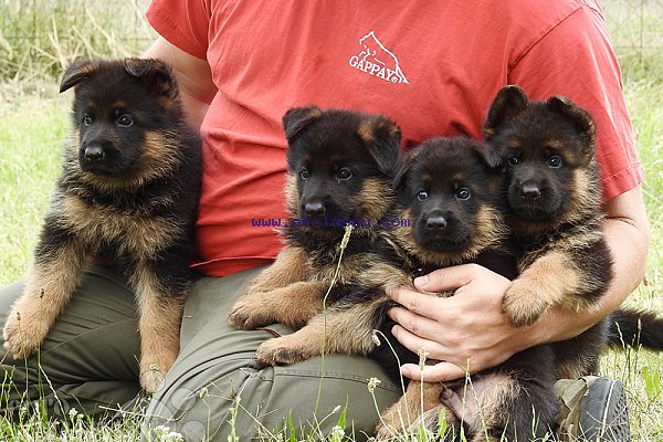 German Shepherd Puppies For Sale Akclassy Com