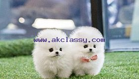 Top Quality lil Micro Toy Teacup Pomeranian Puppies