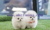 Cute Quality lil Micro Toy Teacup Pomeranian Puppies