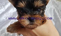 ADORABLE TEA CUP YORKIE PUPPIES FOR SALE