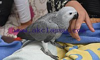 HAND REARED AFRICAN GREY BABY PARROT TAME AND TALKING FOR SALE