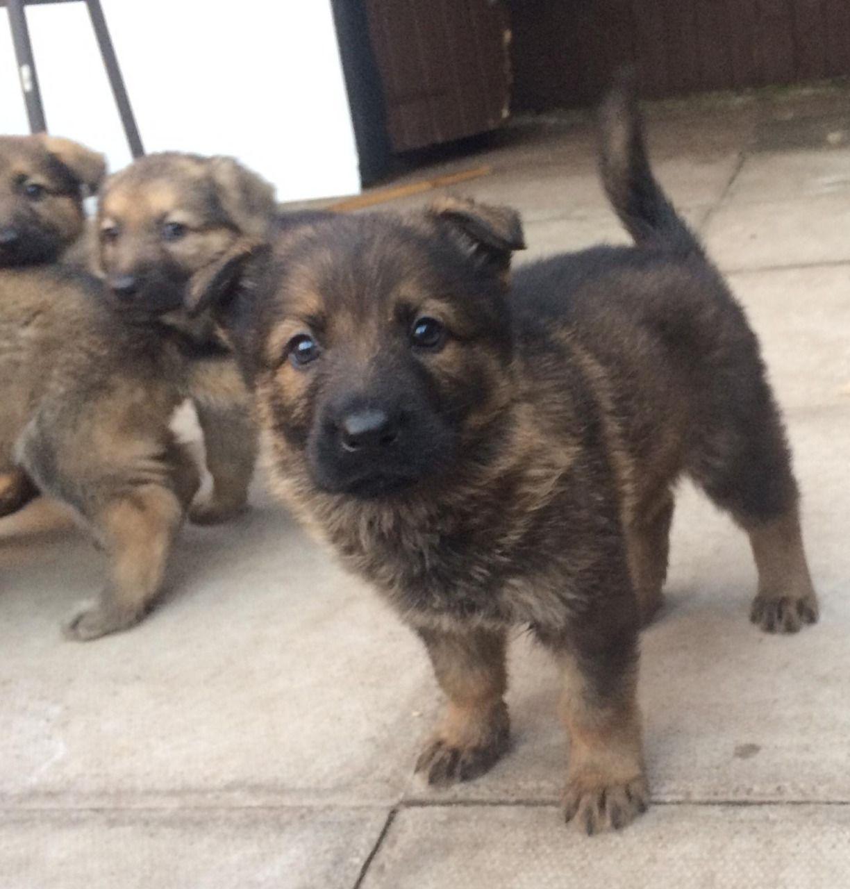 Lovely German Shepherd Puppies For Sale Akclassy Com