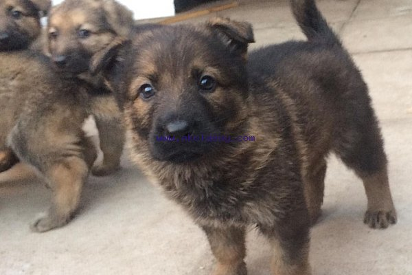 Lovely German Shepherd Puppies For Sale Akclassy Com