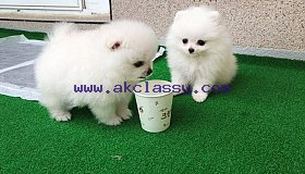 Lovable Available Pomerania Puppies