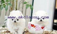 Lovable Available Pomerania Puppies