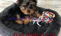 CHARMING Male & Female Yorkie Puppies for free adoption.