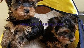 Toy Size Morkie Puppies