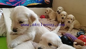 Golden Retriever Puppies Available