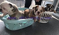 Cutest English Bulldog Puppies for Sale