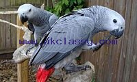African gray parrots male and female for sale