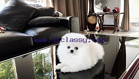 White Purebred - Teacup Pomeranian Puppies
