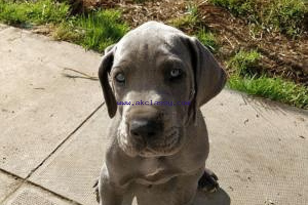 Great Dane Puppies For Sale Akclassy Com