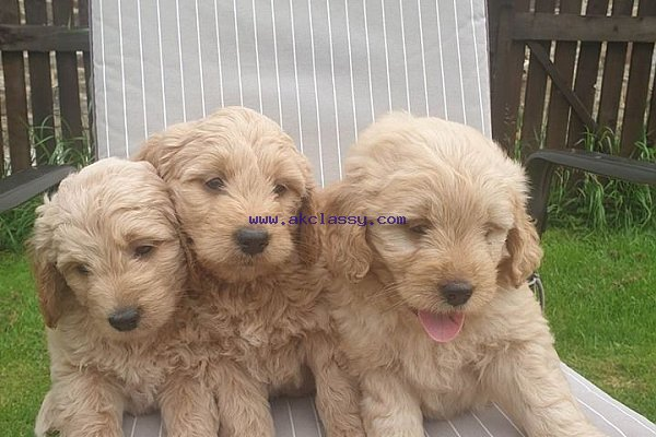 Lovely Goldendoodle Puppies For Sale Akclassycom