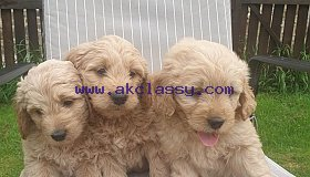 Lovely Goldendoodle Puppies For sale