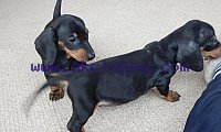 Two Lovely Dachshund puppies available for sale