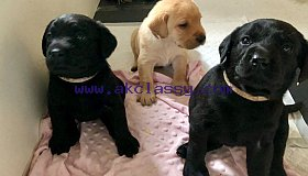 labrador-puppies-5cd1e7f8b5ed6_grid.jpg