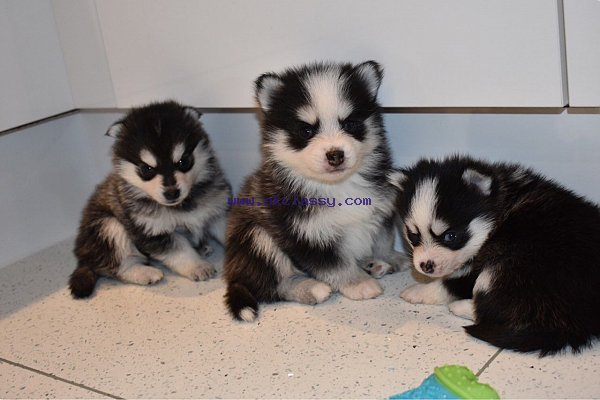 Lovely Pomsky puppies available