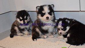 f3-pomsky-puppies-5c7dba2c1f9eb_grid.jpg