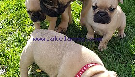 Cutest French Bulldog Puppies for Sale