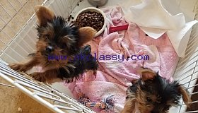 nice looking Male and female  Yorkie  text 478 227 2065