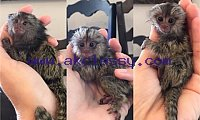 BABY MARMOSET MONKEY (419) 777-4855